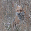 I saw this red fox late this afternoon while we was riding. It was snowing a good bit...I was so excited to get to see snow!