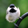 Wind blown look!!  Been having alot of storms this week and the wind was blowing pretty hard when this little chickadee flew up to check me out.  I'm going to try and leave comments,but its still storming.. causing my computer to keep booting me off.