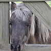 One of the ponies waiting for a treat...everytime you go outside they think they are suppose to get one!