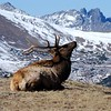 This big elk was laying at the very top of a mountain in the tundra area of the RMNP.